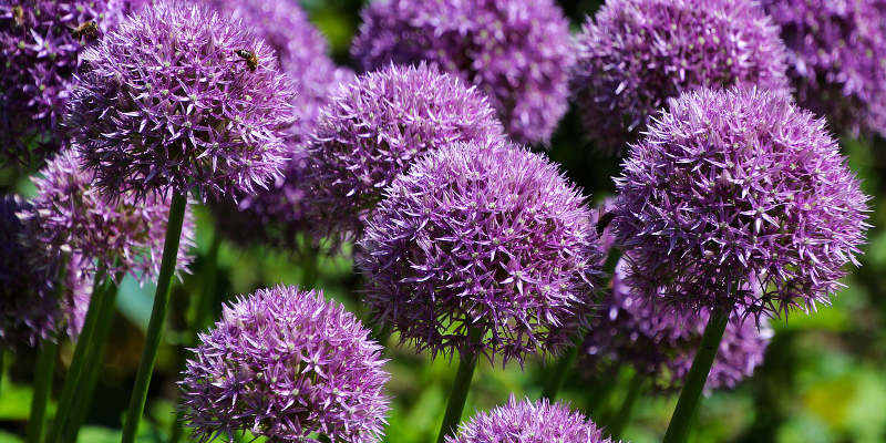 aliums garlic flowers